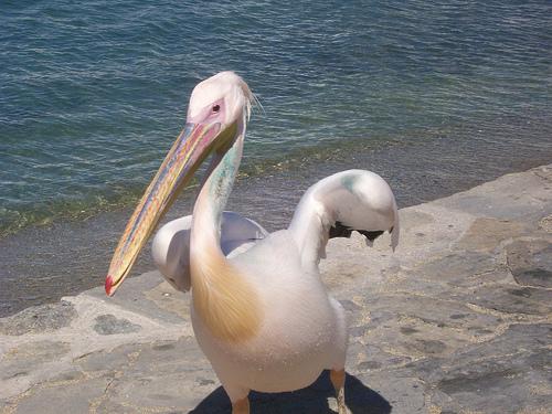 Escucha el sonido de un pel cano mp3 sonidos de animales - Fotos de pelicanos ...